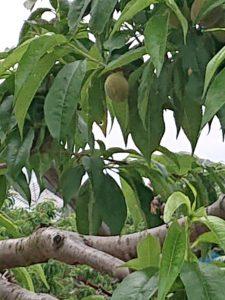 梅ほどの大きさの山梨の桃